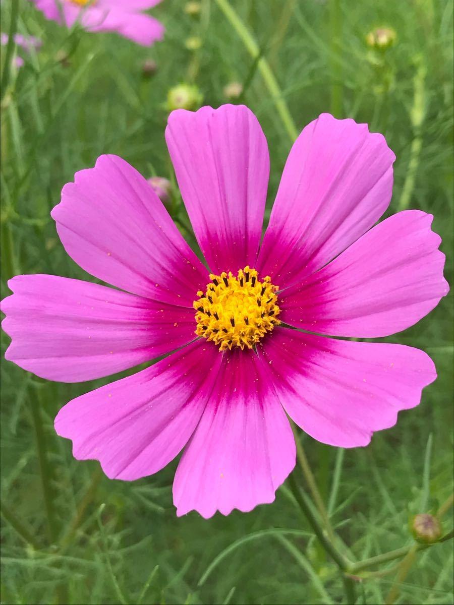 びっくり箱 北斗星さん  コスモスの花可愛いですよね