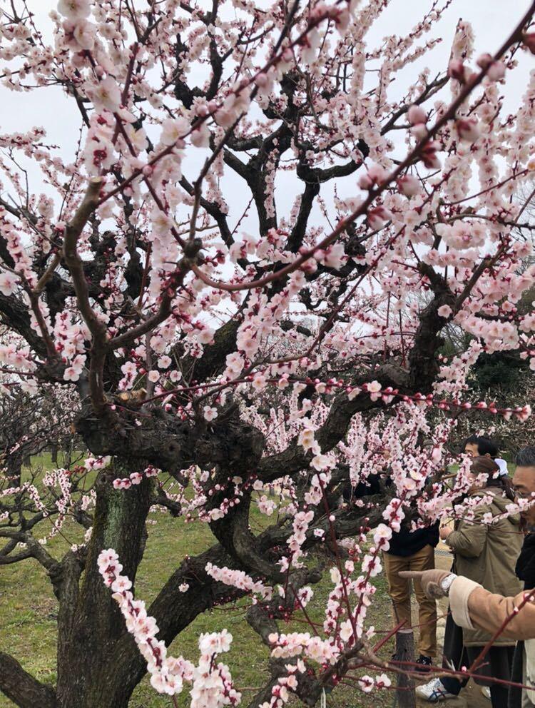 立ちスレ「立ち話のスレッド(^_^)」 今日は東京マラソンもJRAも荒れたね〜 天気良くなかったけど大阪城梅林へ行ってみた。 梅の木って渋い