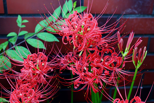 出会いたいなあ ついついご無沙汰してしまいました(^^;  うちの庭では彼岸花(曼珠沙華)が咲き始めました。 もうす