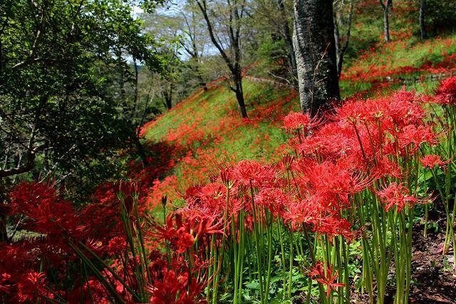 出会いたいなあ アスカっち、おひさです(^^)  自分は昨日、茂木の城山公園に彼岸花を見にいってきたよ。 満開で綺麗