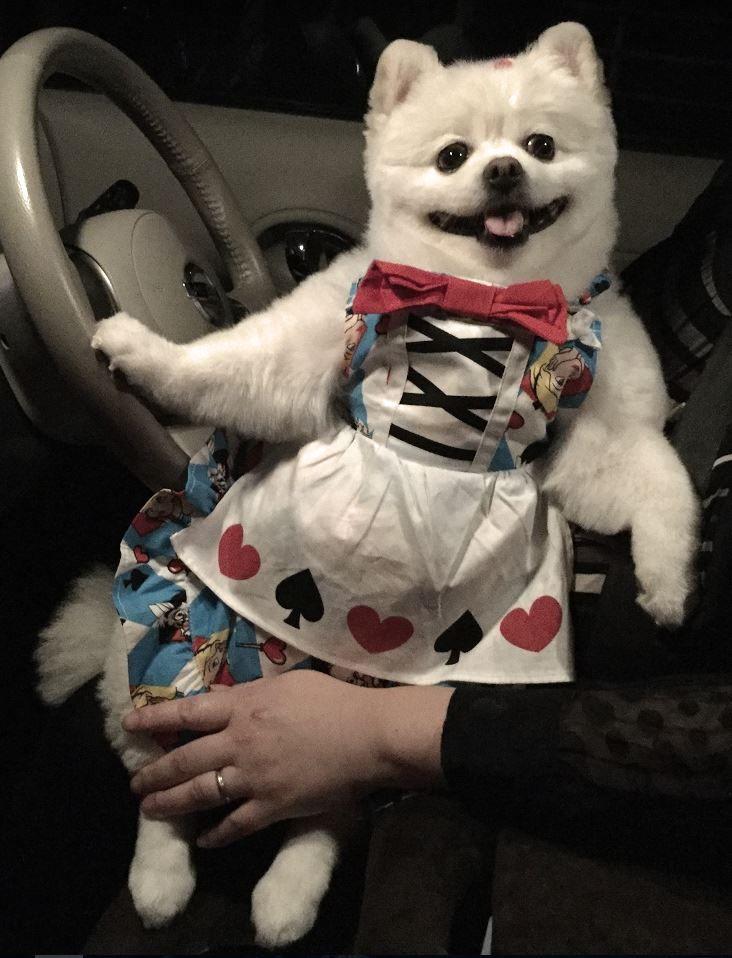 東京電力 画像は私の姪の飼い犬です。 犬種はポメラリアン。 人間以上に大事にされているのでよく肥えてます。