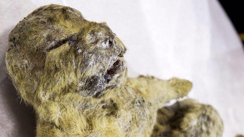 2831 - はごろもフーズ(株) シベリアで凍ったライオンの赤ちゃん⚡️お腹に1万2千年-前の母乳が残っていた🎉   ギズモード・ジャ