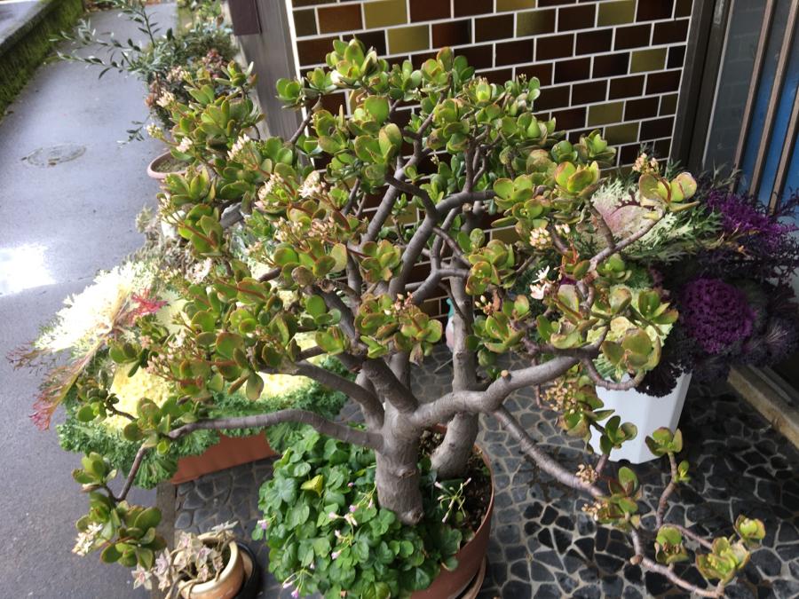 1805 - 飛島建設(株) 金の成る木の花が満開になるのを楽しみにしておったのが三分咲位で1週間前に降った雪で萎れてしまい毎冬場