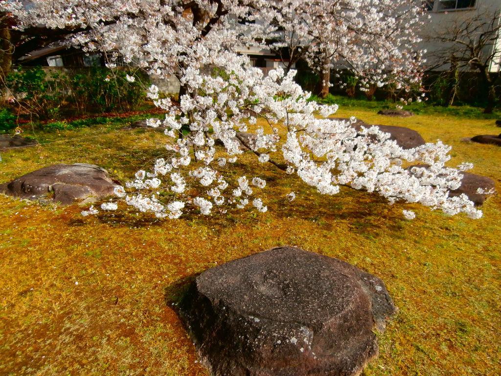 龍神の棲家...。oо○**○оo。... 元興寺塔跡の桜 奈良公園は行かず。  幕末の落雷まで1100年間も高さ70メートル?日本一の塔が建っ