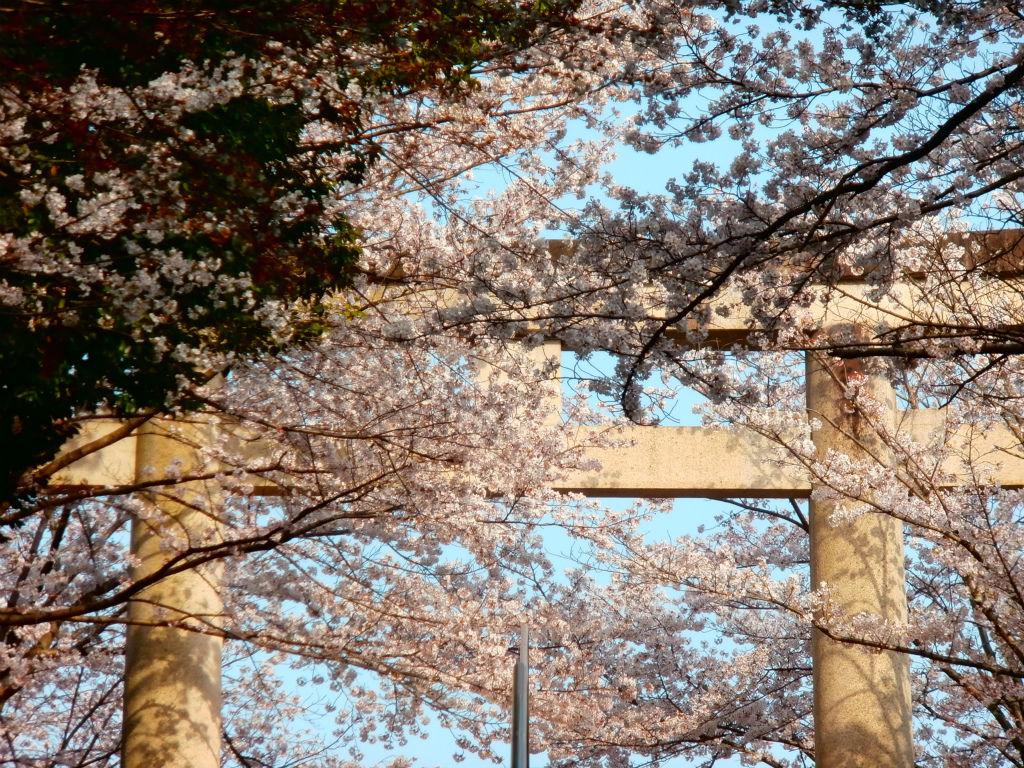 龍神の棲家...。oо○**○оo。... 奈良県護国神社の桜