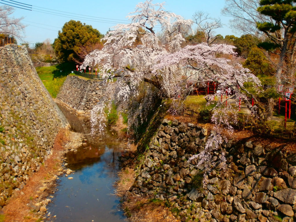 龍神の棲家...。oо○**○оo。... 大和郡山城の桜  元藩士の遺族が遺言により3億円寄付、橋が出来た。その橋から。 夫の遺言だからってそ