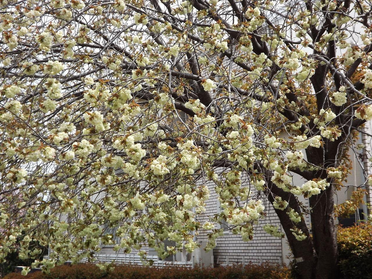株・カフェ 今日は皆さん。 暖か日になりましたが花散らしの風が強く吹いています。この風で大方の桜は散りましたね。