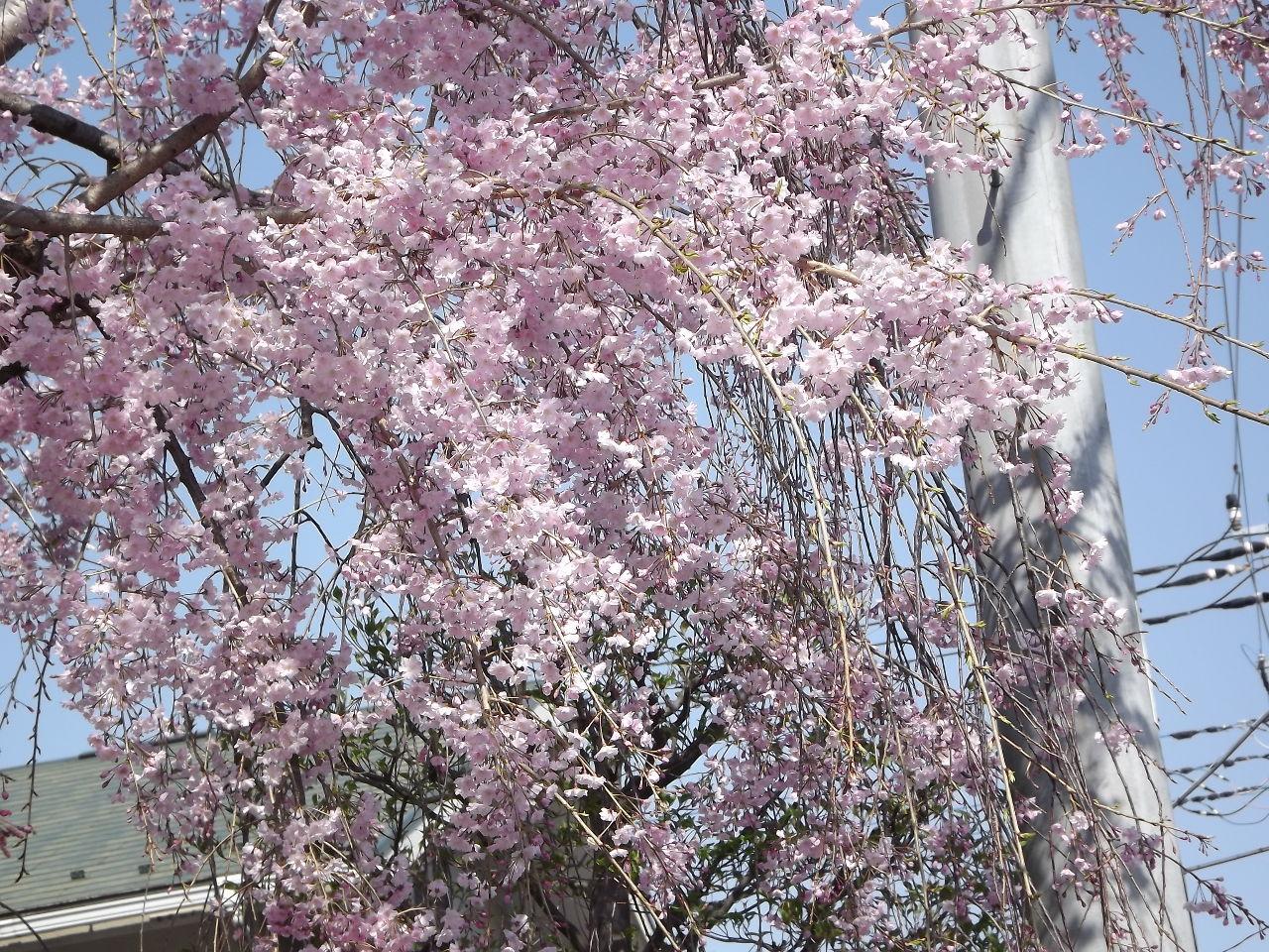 株・カフェ 今日は皆さん。 今日は良い天気で暖かな日になりましたね。 あの桜、御衣黄と言うのですね。露草さんあり