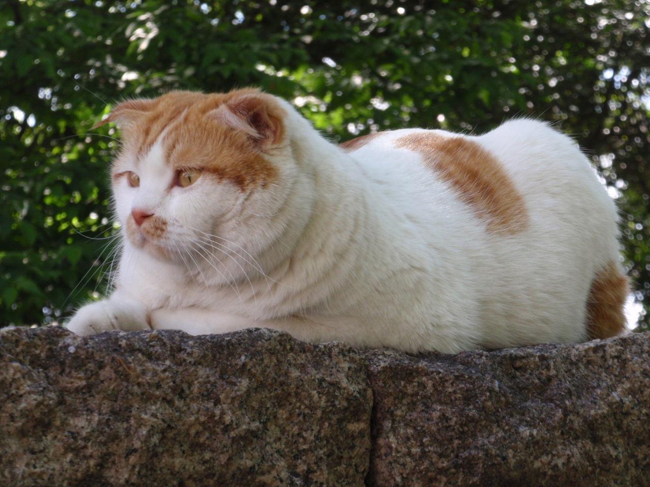 7267 - ホンダ 株猫ジョージ君が応援しています。 ダラダラと下げ続けているニャンコ。 夜明けは近いニャンコ。 今日こ