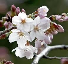 おはようございます~♪ 金掛る        孫のためなら          本望よ いよいよ開花しましたねえ。\(^o^)