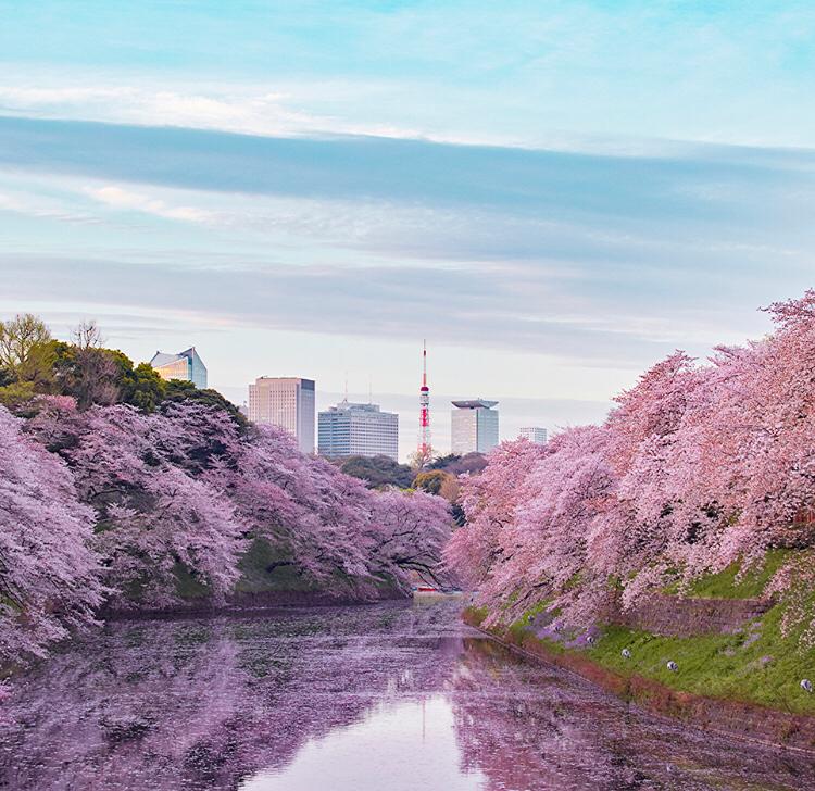 4588 - オンコリスバイオファーマ(株) 桜の花も満開の最高のタイミングですね。 総会後の質問タイムなど何か情報が得られましたら、教えて頂けれ