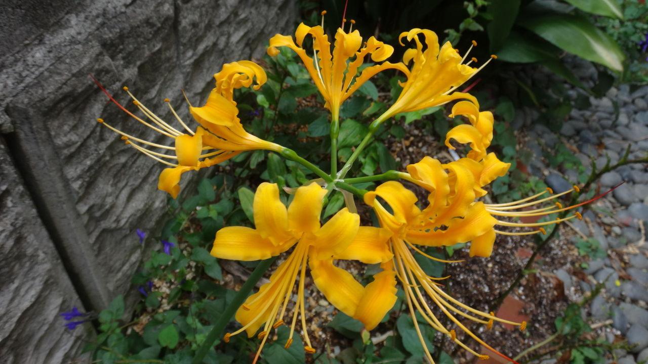 わいわい!(in沖縄)~もっとお友達に!編 こんにちは♪ 今日も雨~、涼しい1日になりそうです。(^^)  我が家の裏庭に咲いた黄色い彼岸花です