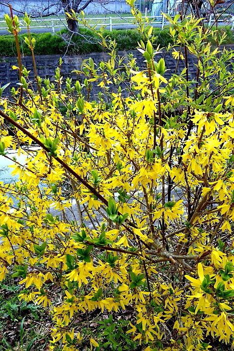 70歳代のバソコン 気温5度とちょっと下がったが快晴で桜の開花も進み楽しい散歩になった火曜日の朝。世の中まだまだ騒然とし