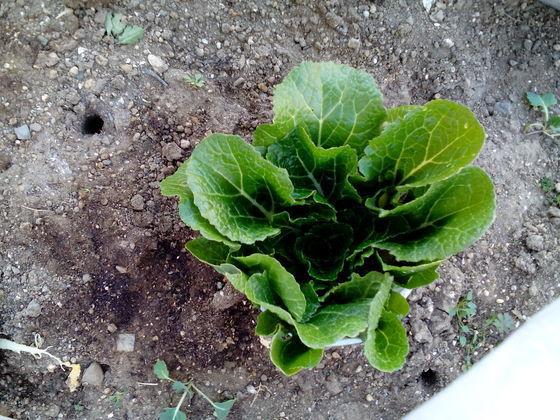 50歳以上の集会所で語らいを 我が家の畑には 白菜が成長中 温室でもレタスを育てています ネギ、二十日大根を収穫中 庭には葉牡丹が