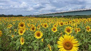 50歳になる前に…… 美由さん、おはよう 掲示板では挨拶は欠かせませんね 今朝は、ヒマワリの花言葉を調べてみました。太陽に