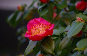 節約 生きがい けち 人生 すずなさん こんばんは  桜開花今年は遅い、まだ咲いて居りません、寒いばっかりです、花は畑の隅の木瓜