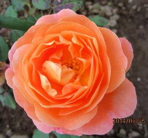バラに魅せられて。。。 竹庵さん、皆さん、本当にお久しぶりです。拙いブログを作っているのでどうしても其方ばかりになってしまい