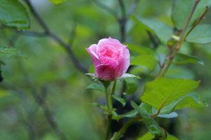 バラに魅せられて。。。 皆様 こんにちは バラ好きの竹庵です。  今朝、山へ草刈に行きましたら、私が種から育てて 『一乗寺』