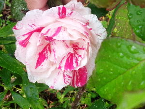 バラに魅せられて。。。 なんだかんだといってGWも終わり、5月も中旬に! なんと!久しぶりに掲示板見ました。 みなさんお元気