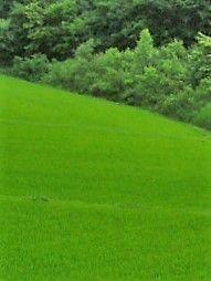 芭蕉から文月まで    「青田」        峡の地に風のふくらむ青田かな   風船