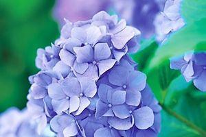 芭蕉から文月まで       「額の花」       夕暮れや咲きほころびし額の花   風船