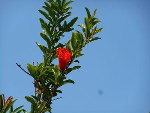 芭蕉から文月まで   「花柘榴」       天空は青く澄みたり花柘榴    風船