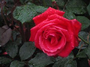 芭蕉から文月まで     「紅薔薇」             紅薔薇に雫のこせり昨夜(よべ)の雨   風船