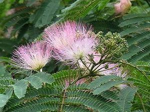 芭蕉から文月まで   「合歓の花」       合歓咲くや日がな一日つつがなく   風船