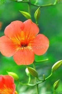 芭蕉から文月まで      「凌霄花」      暮れなずむ庭に燃え立つ凌霄花   風船