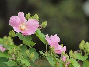 芭蕉から文月まで    「白芙蓉」        清しさは朝吹く風や白芙蓉    風船