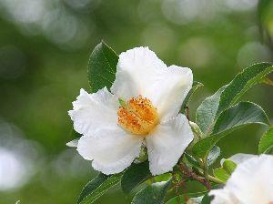 芭蕉から文月まで      「沙羅の花」         沙羅咲けば暫し忘るる濁世かな    風船