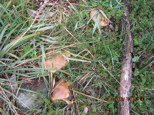 キノコ取り 猟犬ベルを竹林で散歩してましたら 秋に出るキノコが3個も見つかりシャッターを。  食べられますがそう