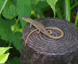 4583 - (株)カイオム・バイオサイエンス ああ、そういえば思い出した、、、  金蛇って、ヘビじゃなくて草ボウボウ屋根の貧乏くさい家の周りとか