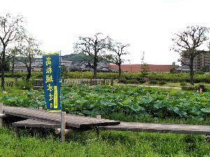 秋蒔き小麦、きたほなみ ~蟹の軒先~ 高松城あとです。