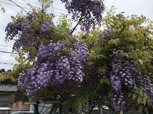 豊川歳時記 お次ぎも豪華版 曇り空にくっきりと咲き誇りました。小ぶりながら、花のつき具合は最高です。  ぞう