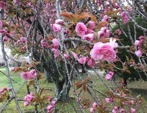 豊川歳時記 豪華絢爛 八重桜の満開です。稲荷公園に五本ある、これって余り大木にはならないですね。  ぞう