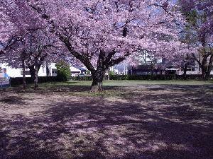 豊川歳時記 これぞ満開! うらの三角公園のまんなかにすっくとたってる、これはまさに壮年て感じです。 今年は」寒気
