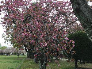 豊川歳時記 春はゆく 久しぶりに、一日中 雨が降った公園の桜は皆散り果てて、青葉に変わっていた。 そしてお次ぎは