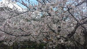 迷い猫の森 桜も満開が過ぎたね?(^o^)/一昨日は桜を見に行って来ました。帰りは寄り道をして居酒屋さんで飲んで
