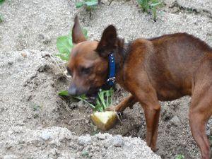 ☆デジカメ写真で遊びましょう☆ 犬がジャガイモを掘って食べていた。 余程、腹が減ったのか? 根菜類が好きなのか?