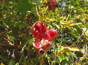 ☆デジカメ写真で遊びましょう☆ 散歩中に、珍しい果物を見ました。 それは「ザクロ」。 一度は食してみたいと思い続けてはウァ70年?