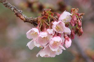 50歳♀です こんばんは。  まだまだ寒い日が続いていますが 近くの道の駅では 桜が。。。。