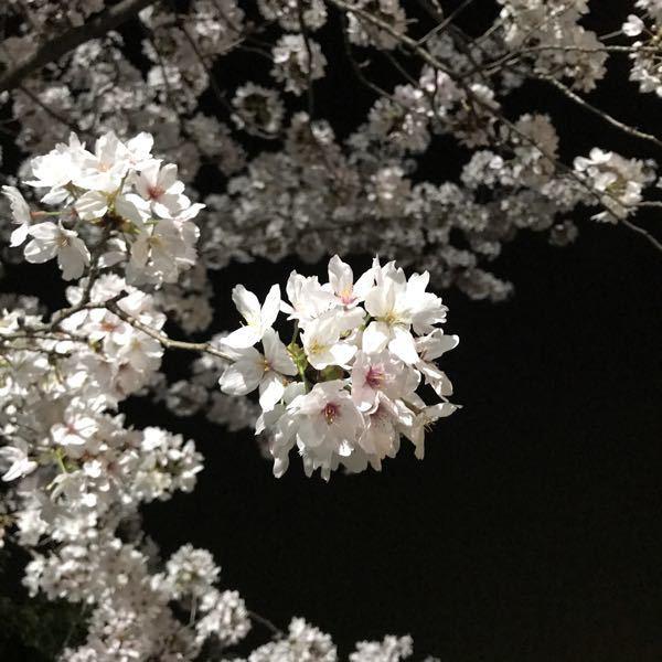 くらの部屋 あ!本当ですね。キリンだ🦒🥰 はい、のんびり楽しい週末にします🙌🌸 これは夜桜☺️