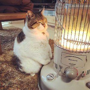 ♪株喫茶♪ 【>梅宮大社】 たまたま見た猫動画が まさに梅宮大社でした(笑) 猫と神社の親和性を証する貴重な映像