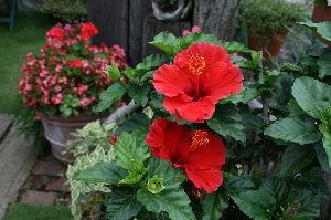 喜怒哀楽をぶつけませんか・・・ 今日は夏至~  もう少しで今年も半分終わる  何故か虚しく儚い時間の速さ  庭に置いたハイビスカスの