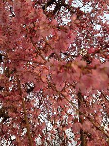 小野市のここが好きⅠ♪ 桜が一気に開花してきました。 いきなり暖かくなってきましたね! ホテルはそんなに部屋数があって一体誰