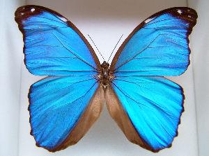 博物館森 博物館森所蔵、非常にきれいな蝶、ブラジル、アマゾン流域だけに生息する非常に綺麗な蝶、 Morpho