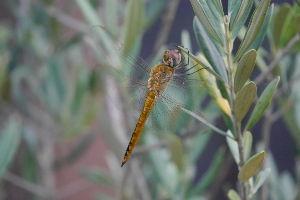他愛無いおしゃべりで一息 近所の川縁を歩くと草木や虫がなんとなく初秋です。  なんとなく初秋っぽい虫の一つ、ウスバキトンボの姿