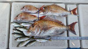 瀬戸内で釣り三昧 ↓全体釣果  ちなみに今の時期の真鯛は 脂乗って最高です><  カマの塩焼きにタイ飯、メチ