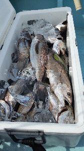 瀬戸内で釣り三昧 7/22 長潮  潮も緩く、タイラバは厳しいだろうと 友達に誘われた、クログチ釣りに♪  大分の方で